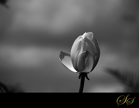 Lotus-BlackandWhite