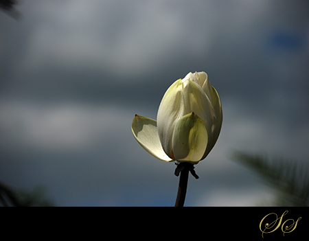 Lotus-Colored
