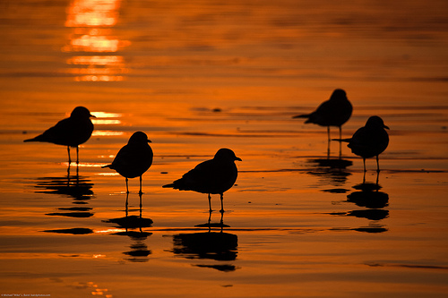 Flock Of Five Gulls At Sunset, Shown In Silhouette On The Golden