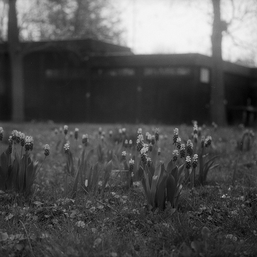 Grape Hyacinths In B&W