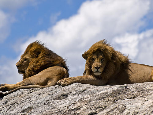 Male Lions On The Rock