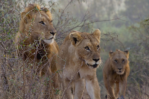 Lions - Panthera Leo