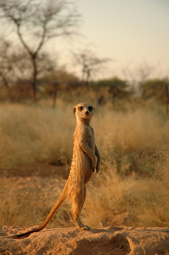 Meercat In Sunset