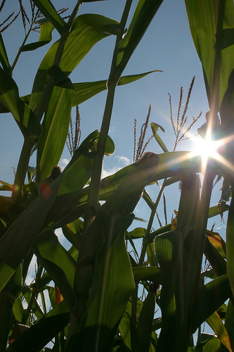 Maize: Summer Time