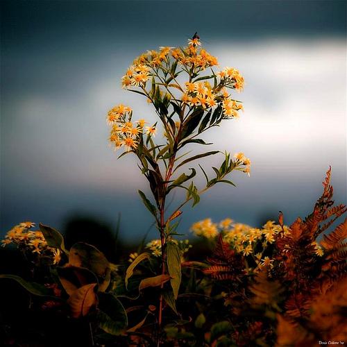 Aster D'automne...!!!