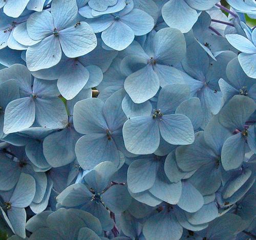 Flower Acores