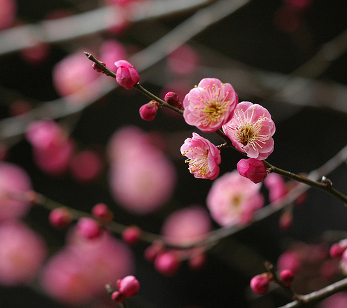 Japanese Plum, Red Flower