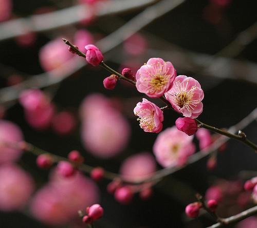 Japanese Plum, Red Flower