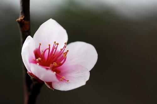 Early Peach Flower