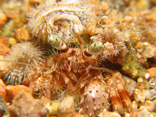 Anemone Carrier Crab
