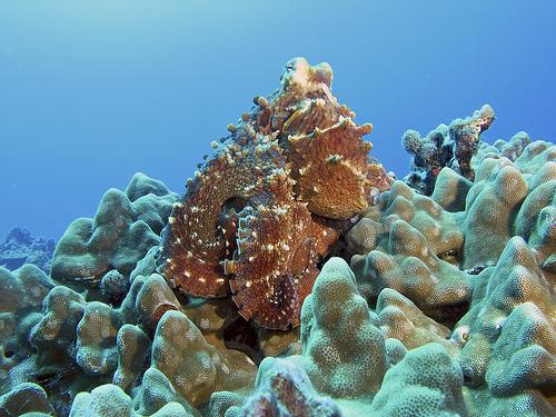 Hawaiian Day Octopus
